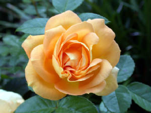 Yellow Rose of Hope